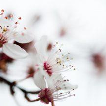 gałąź kwitnąca na biało